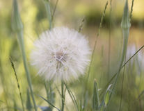 Tragopogon Dubius flower Stock Photography