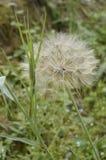 Tragopogon dubius - salsify great. Plant like big dandelion royalty free stock images