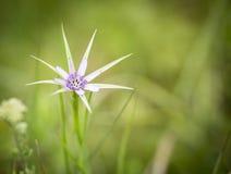 Tragopogon hybridus dziki kwiat na zielonym tle Obrazy Stock