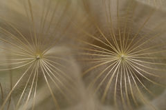 Tragopogon Macro Stock Photo