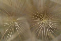Tragopogon Macro. Macro of the Yellow Goats-Beard seed head stock photo