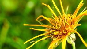 Tragopogon orientalis. In the meadow stock video
