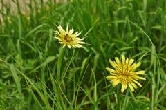 Tragopogon orientalis. Yellow flowers salsify east. stock photography