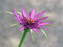 Tragopogon porrifolius, Asteraceae. Aka Salsify. Royalty Free Stock Images