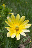 Tragopogon porrifolius flower. Yellow flower in nature with green details Stock Photos