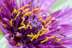 Tragopogon porrifolius. Mcro photography of Purple Salsify flower detail Royalty Free Stock Images