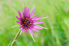Tragopogon porrifolius. Mcro photography of Purple Salsify flower with natural background Stock Image