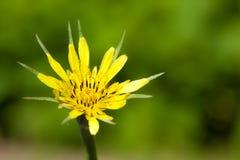 Tragopogon pratensis Zdjęcia Stock