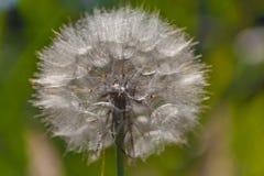 Tragopogon pratensis Obraz Royalty Free