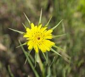 Tragopogondubius Royaltyfri Fotografi