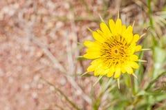Tragopogondubius - gul haverrot Royaltyfria Bilder