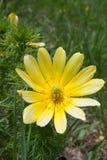 Tragopogonporrifoliusblomma Arkivfoton