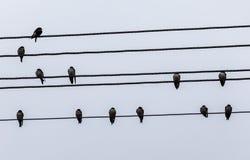 Tragos que se sientan en los alambres eléctricos fotos de archivo