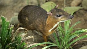 Tragulus javanicus in grass stock video footage