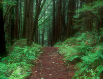 Trail 01. Trail through Redwood Forest, Limekiln State Park, California stock photo