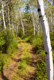 Trail in aspen forest Royalty Free Stock Image