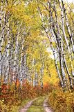Trail through Aspen grove Royalty Free Stock Photos