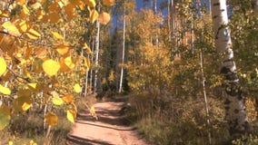 Trail through aspen woods in autumn stock video