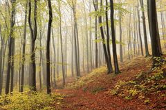 Trail through an autumn beech forest in foggy weather