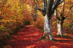 Trail in autumn beech forest Stock Photo