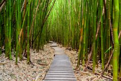 Trail through the Bamboo Forest on Maui, Hawaii. Along the Pipiwai Trail royalty free stock photography