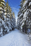 Trail through beautiful winter forest on a clear day Royalty Free Stock Photography
