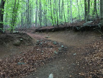Trail in a beech forest. Stock Photos