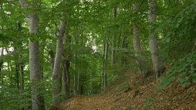 Trail in the Beech Forest. Tilt shot to a leaves path in a beech forest stock video