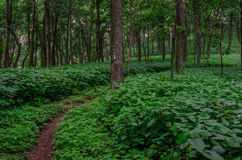 Trail Bends in Summer Green Foliage Stock Image