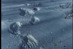 Trail  of bloodstained  paw prints in snow stock video footage