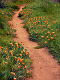 Trail with blooming poppy flowers on the sides. A trail through green grass and California poppies on both sides Royalty Free Stock Photos