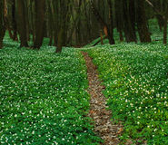 Trail in blossoming green forest, spring nature Stock Photos