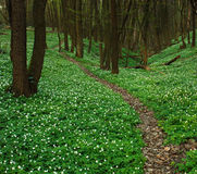 Trail in blossoming green forest, spring nature background Royalty Free Stock Image