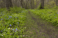 Trail Through Blue Bell Flowers Stock Image