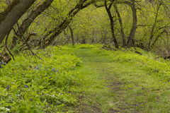 Trail Through Blue Bell Flowers Stock Photography