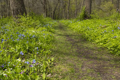Trail Through Blue Bell Flowers Stock Photo