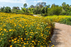 Trail Bordered By Daisies in Springtime. A trail bordered by yellow and white daisies in the springtime Royalty Free Stock Photos
