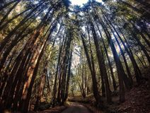 Redwood trees. Trail in California with big redwood trees stock photo