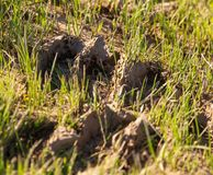 The trail of a camel on clay soil.  stock photography