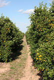 Trail Through Citrus Grove. A vertical view of a dirt trail through rows of citrus trees Stock Image