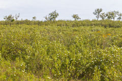 Trail with Cork tree forest and Esteva flowers in Vale Seco, San. Tiago do Cacem, Alentejo, Portugal Stock Photography