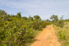 Trail with Cork tree forest and Esteva flowers in Vale Seco, San. Tiago do Cacem, Alentejo, Portugal Stock Photo