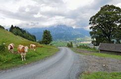 Trail with cows at the european alps saalfelden leogang Royalty Free Stock Photography