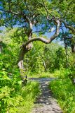 A trail through the Crooked Bush of Saskatchewan. The Crooked Bush is a grove of aspen trees that grow in all directions, except straight up. Here is a trail stock image