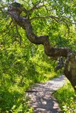 A trail through the Crooked Bush of Saskatchewan. The Crooked Bush is a grove of aspen trees that grow in all directions, except straight up. Here is a trail royalty free stock photography