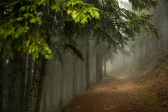 Trail in a dark pine forest on the slopes of the mountain. Carpathians, Europe. Beauty world. Royalty Free Stock Photo