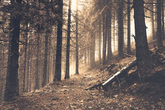 Trail in a dark pine forest Royalty Free Stock Images