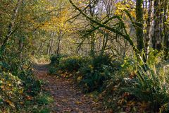 Trail through fall. Damp forest path through fall trees in fall woods Stock Photos