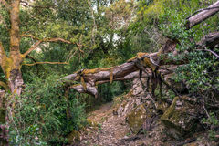 Trail with fallen trees in the mountains in Corsica Stock Photo