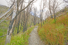 Trail through a Fire Scarred Forest Royalty Free Stock Image